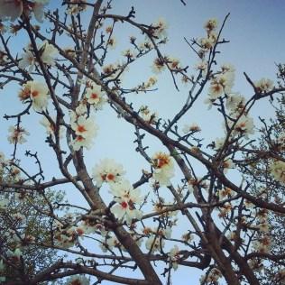 Almendros floridos