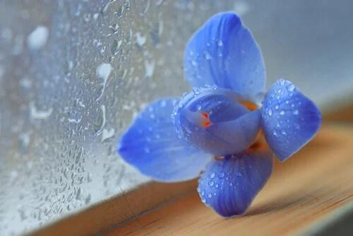 Flor azul al lado de una ventana mojada por la lluvia