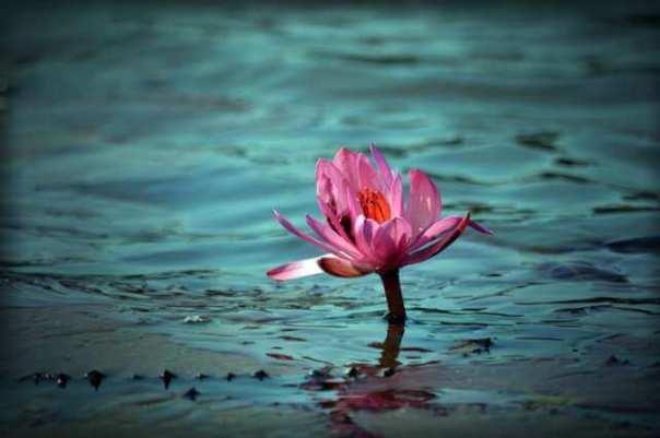 Flor de loto creciendo