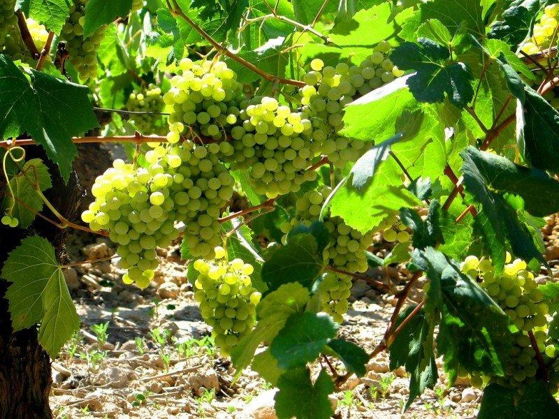 mesa-habla-uvas-sadurni