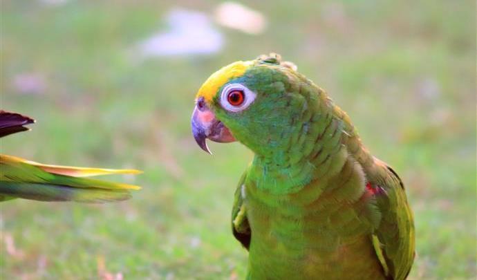 """I pappagalli verdi invadono la Puglia- Coldiretti: """" Questa invasione è dipesa dal clima!"""""""