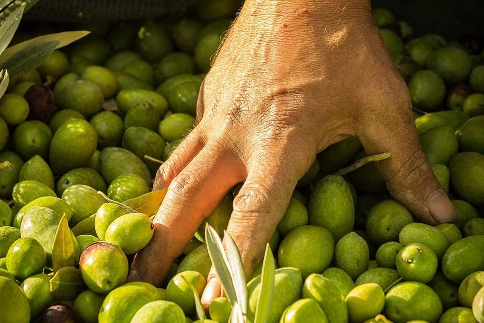 Oliva Bella di Cerignola: origini e storia della regina degli aperitivi