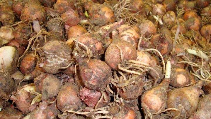 Lampascioni, prodotti alimentari tipici di Puglia e Basilicata: ecco come mangiarli