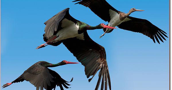 Incoronata, Foggia: abbattute dai cacciatori due rare cicogne nere