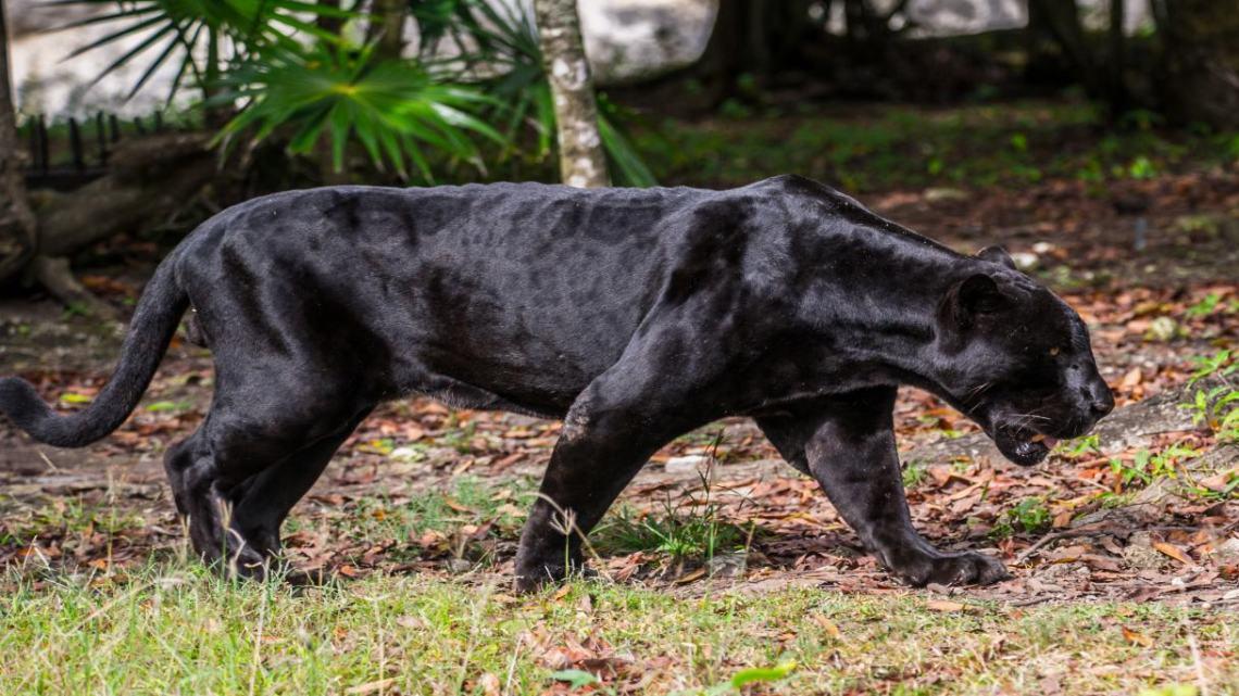 Pantera nera: secondo l'esperto potrebbero essere due, forse una è già morta