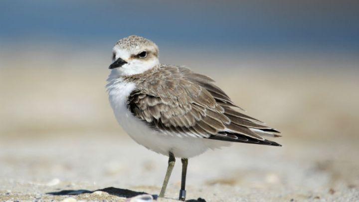 Il Fratino, specie protetta, è tornato sulle coste pugliesi: ecco dove è stato avvistato