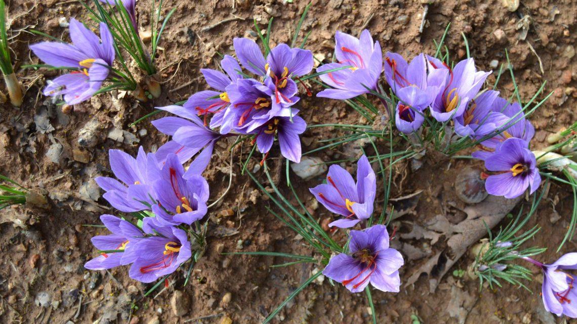 Zafferano, caratteristiche e utilizzi: si coltiva anche in Puglia
