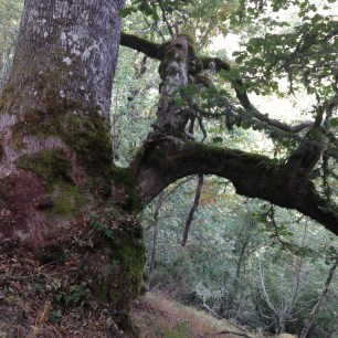 ROBLE ALBAR (Quercus petraea) FOTOGRAFÍA TOMADA EN EL VALLE DE LAS ARREGADAS RIOSCURO DE LACIANA POR JENNIFER MANTECA