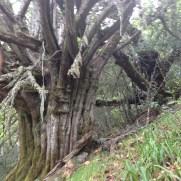 Un tejo en Rioscuro