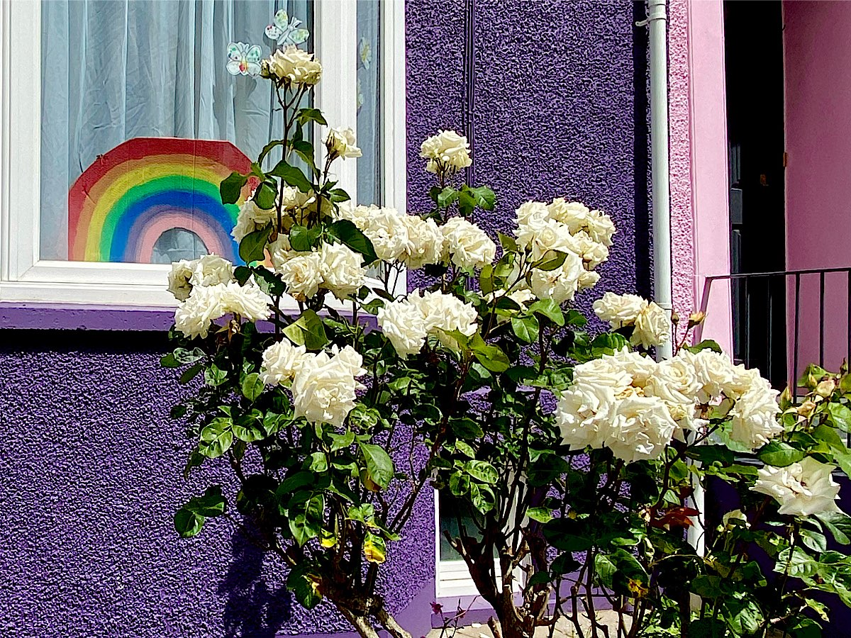 A purple house with some lovely white roses and a cut out rainbow in the window