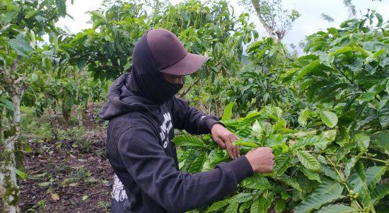 Balada Petani Kopi Agroforestry