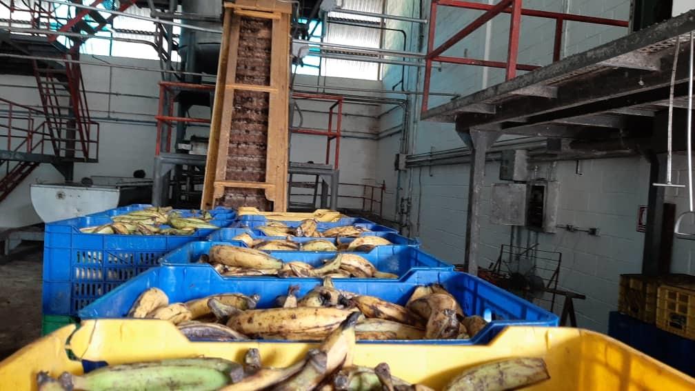 Reimpulsan producción de melaza y harina de plátano al Sur del Lago