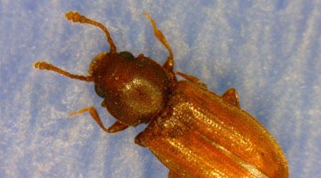 Grain Beetles In My Bedroom Www Stkittsvilla Com