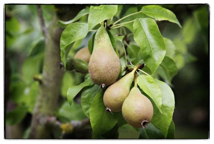 Kilns-Pears-and-Kingdom-Fruit
