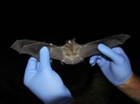 An endangered gray bat.