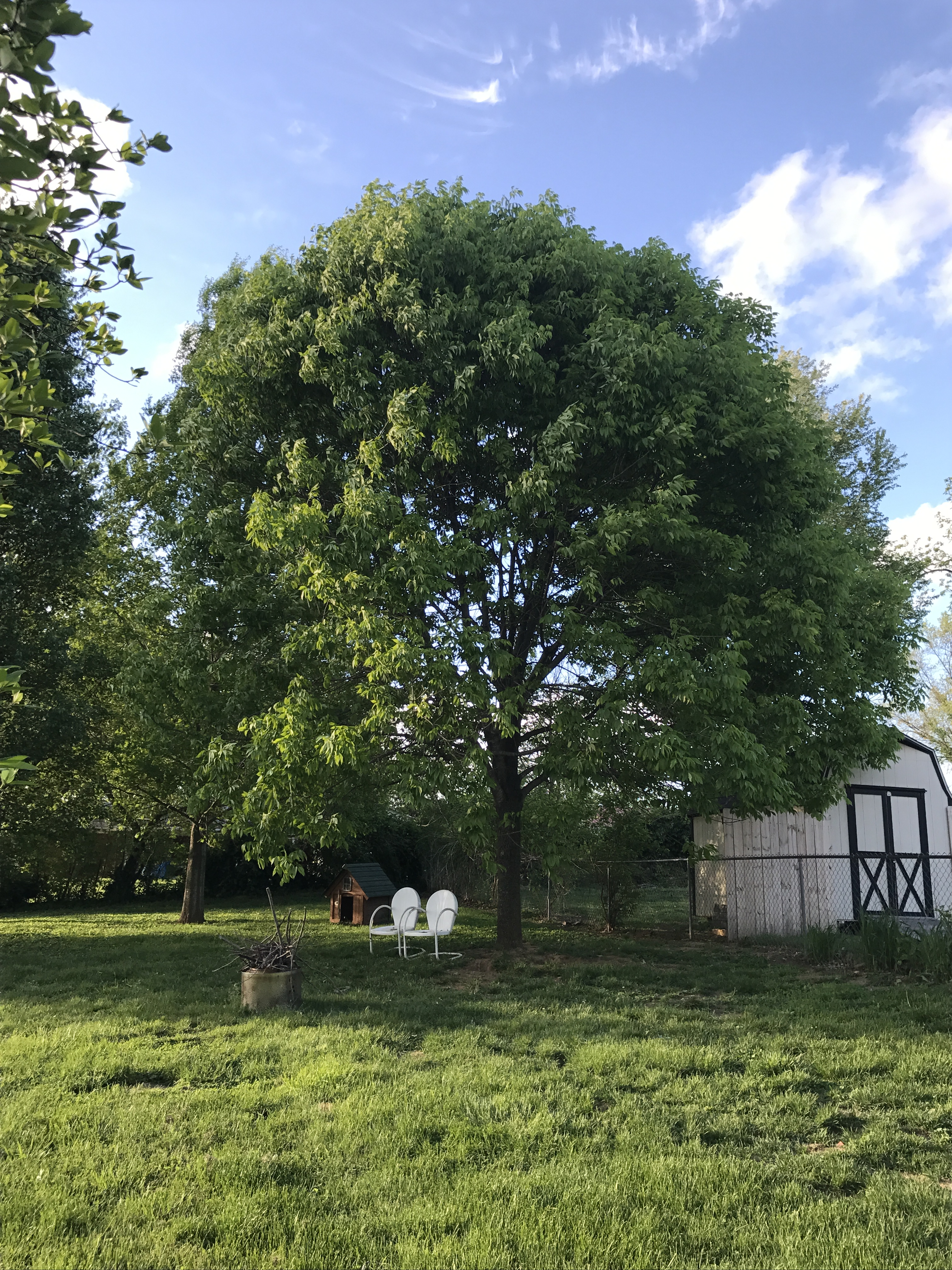 Saving your ash tree from the Emerald Ash Borer is still possible