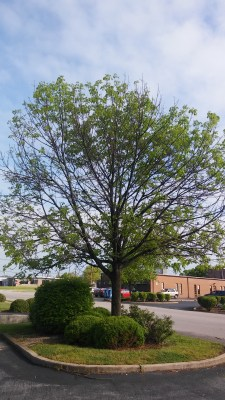 An ash with damage that is too extensive to treat and must be cut down.