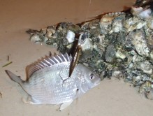 Foul hooked bream