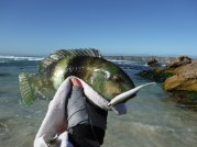 another-wrasse