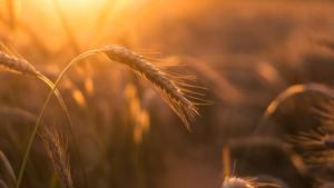 Ähren zur Ernte - Landarche