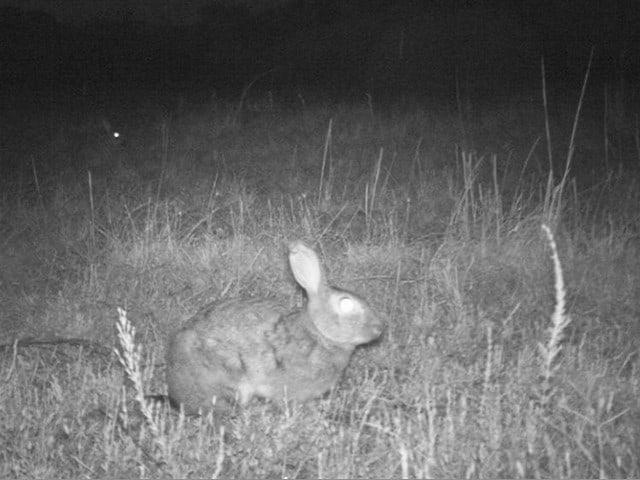 rabbit caught on night vision camera