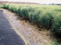 Close Up View of a A Reed Bed for Leachate Treatment to Prevent Water Pollution