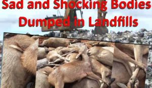 image showing deer bodies dumped in landfills