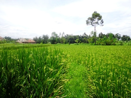 Land for sale in Ubud rice paddy view  in Ubud Pejeng Bali