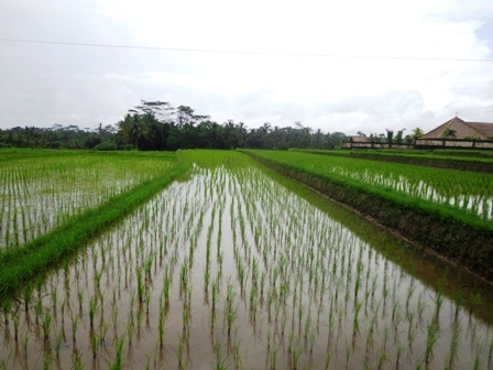 Land for sale in Ubud 25 Ares with by the roadside