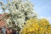 Uralter Birnbaum und Forsythie blühen in manchen Jahren zeitgleich