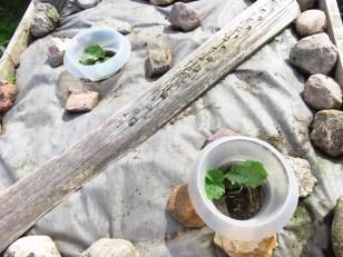 Zucchini 'Alberello di Sarzana'
