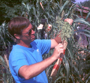 Land Institute senior scientist Stan Cox and our hybrid perennial sorghum in late summer 2002. The bag collects pollen for breeding with other plants.
