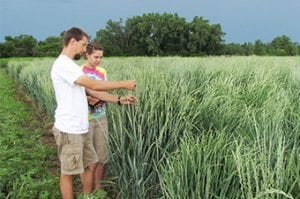 Kernza Seed Heads Examined Land Institute
