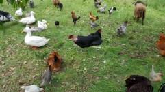 Insbesondere das Landkind erfreute sich jauchzend an der Vielfalt des Nutztiergeflügels, das es im Museumsdorf zu bestaunen gab.