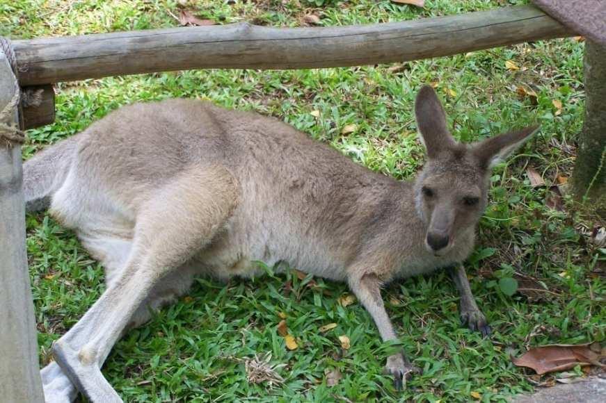 Singapore Zoo Kangaroo