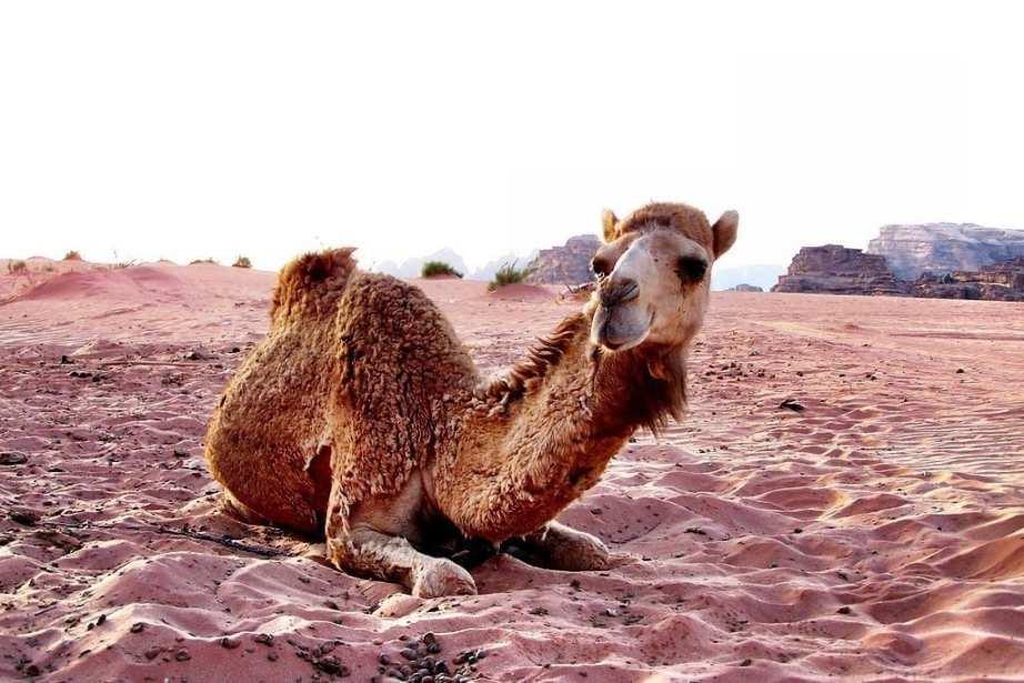 Baby camel, Wadi Rum Jordan