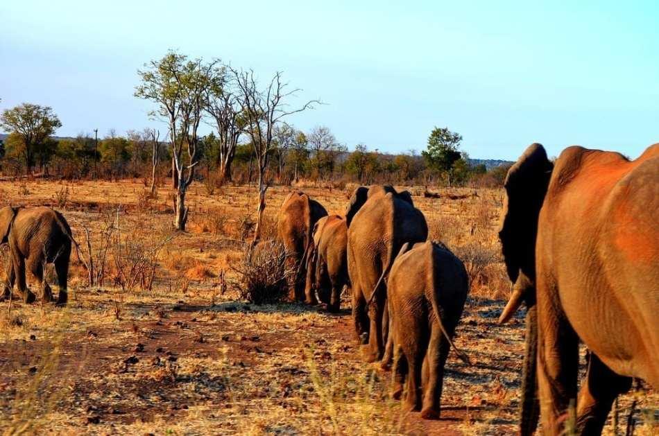 Sunset Elephant Procession in Zimbabwe