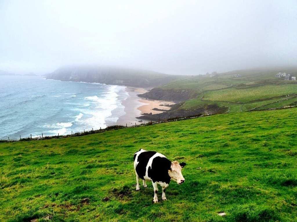 Ireland Cow