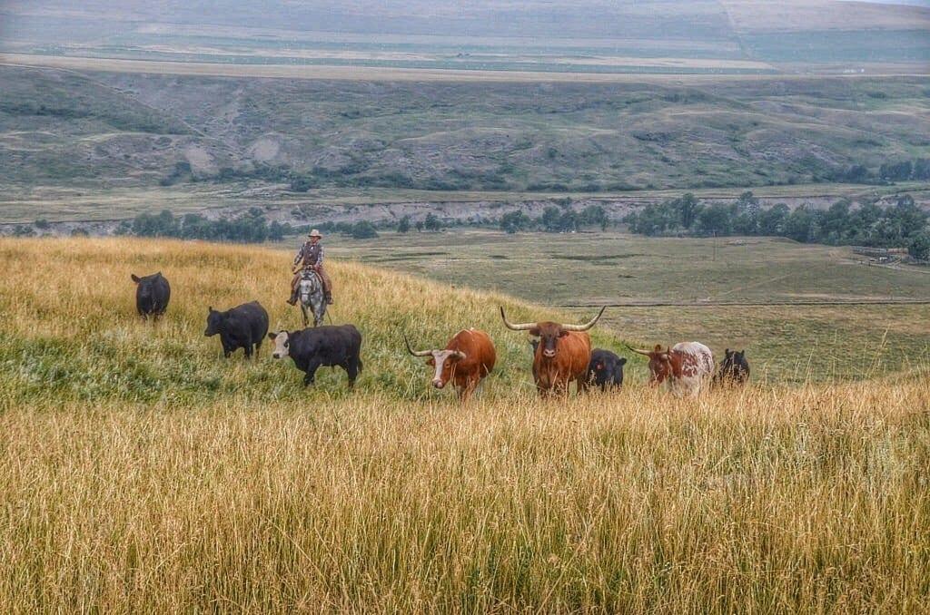 Alberta Canada Cowboy