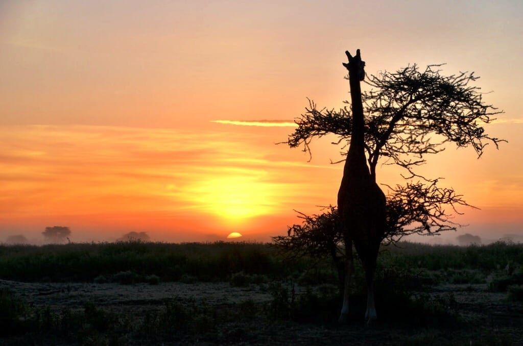 Sunrise Giraffe Serengeti Tanzania