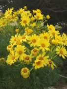 These yellow wildflowers are said to be so bright on the islands that they can be seen sometimes from the mainland
