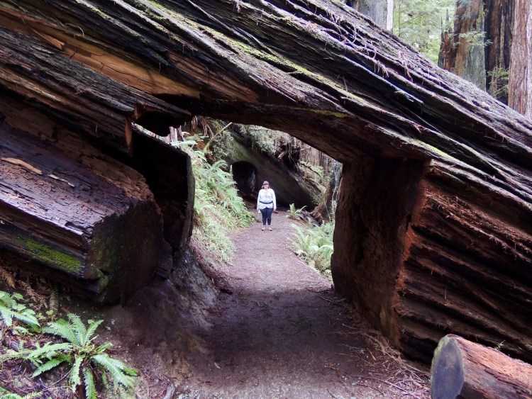 The Prairie Creek Trail passes right through two gigantic redwoods