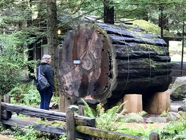 Section of an 1,100-year-old redwood