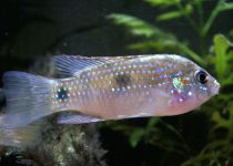 African Butterfly Cichlid