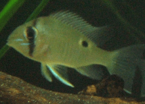 Green-Streaked Eartheater Cichlid