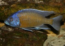 Red Fin Cichlid