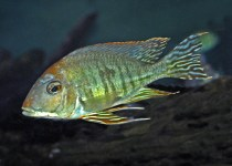 Altifrons Cichlid