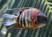 Red Spot Severum Cichlid