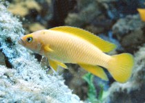 Elongated Lemon Cichlid