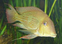 Three-Spotted Eartheater Cichlid